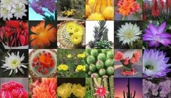 Arizona Cacti choices for your Garden